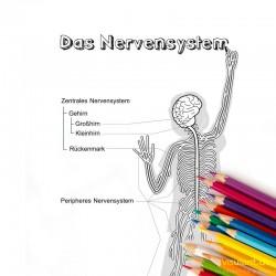 Ausmalbild NERVENSSYSTEM